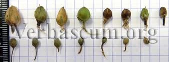 Verbascum Capsules