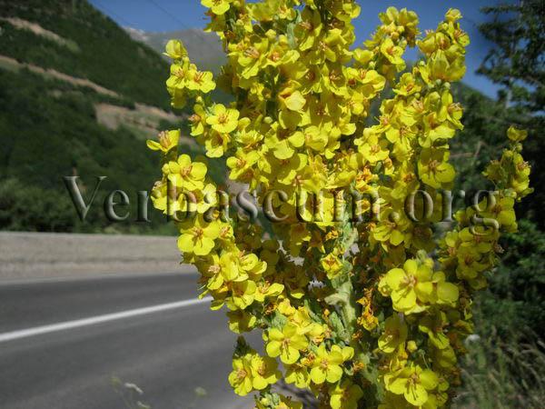 verbascum songaricum1