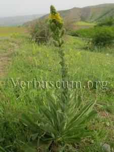 verbascum songaricum